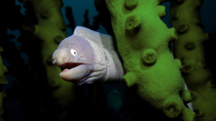 White Eyed Moray Eel