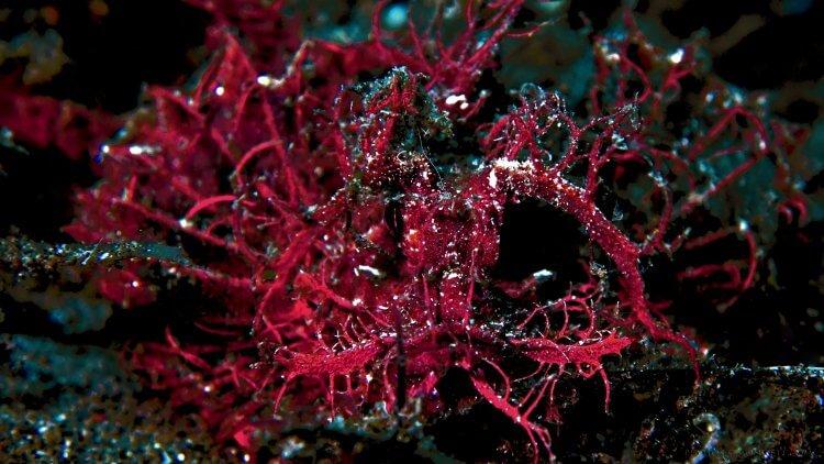 Ambon Scorpion Fish