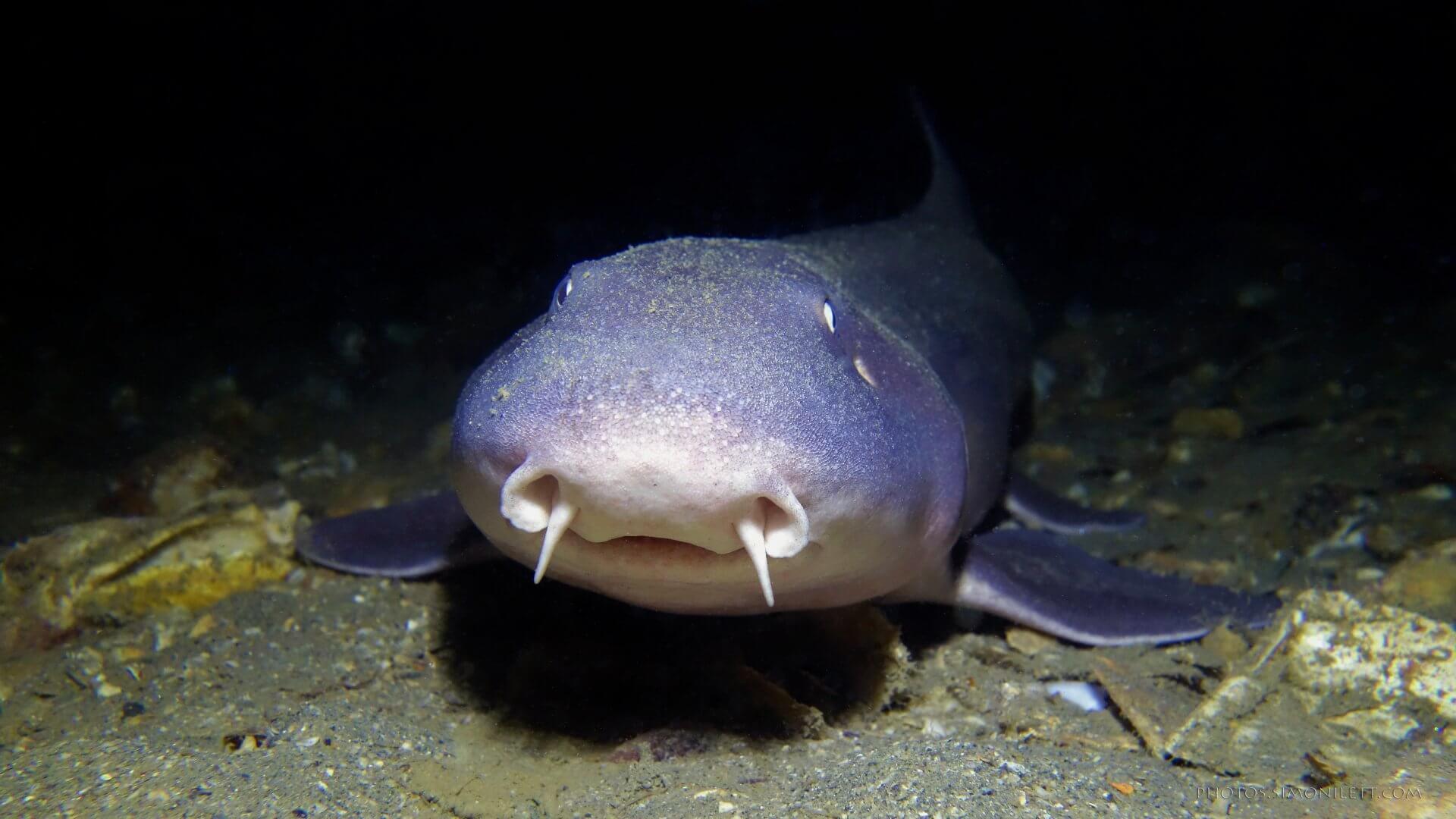 Smiling Bamboo Shark