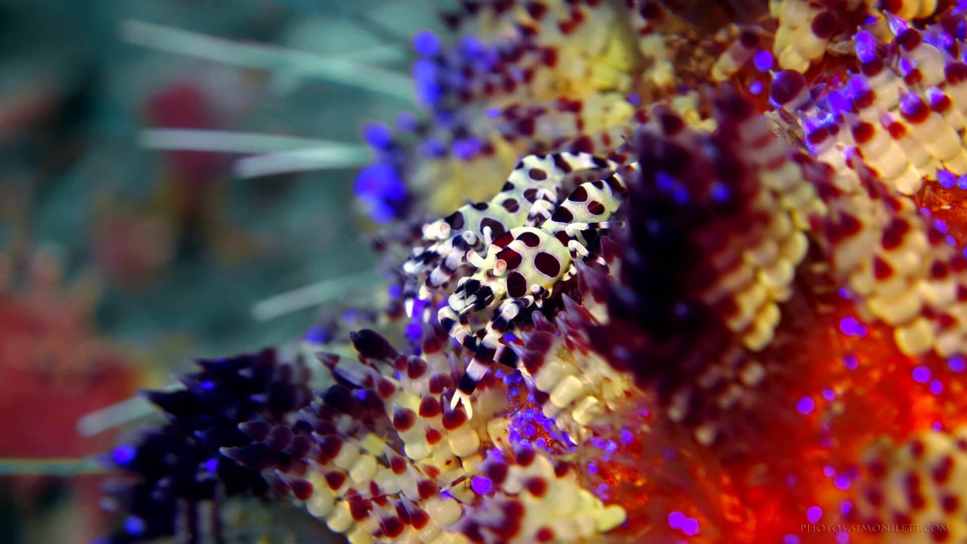 Coleman Shrimps On A Sea Of Colours