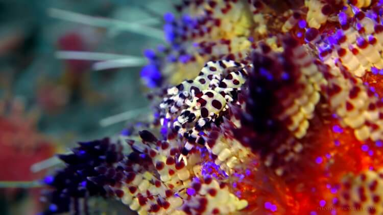 Coleman Shrimps On Sea Urchin