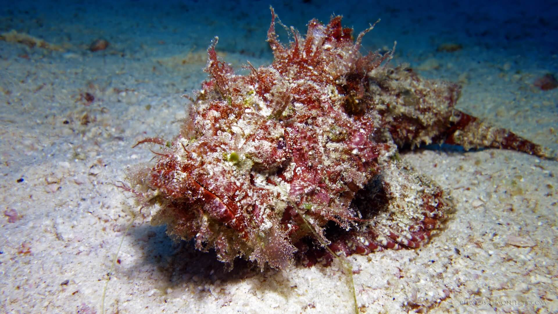 A Really Devlish Devil Scorpion Fish