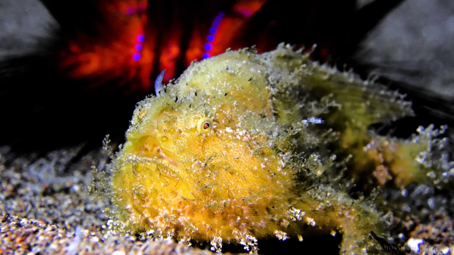 Hairy Frog Fish & The Poke Urchin