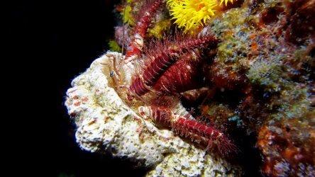 Hairy Leg Hermit Crab