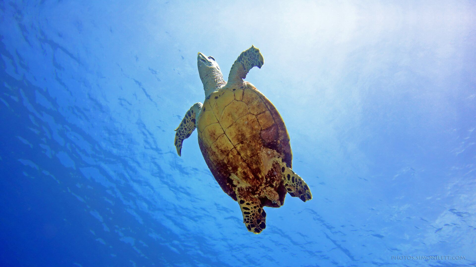 Hawksbill Sea Turtle Going Up For Air