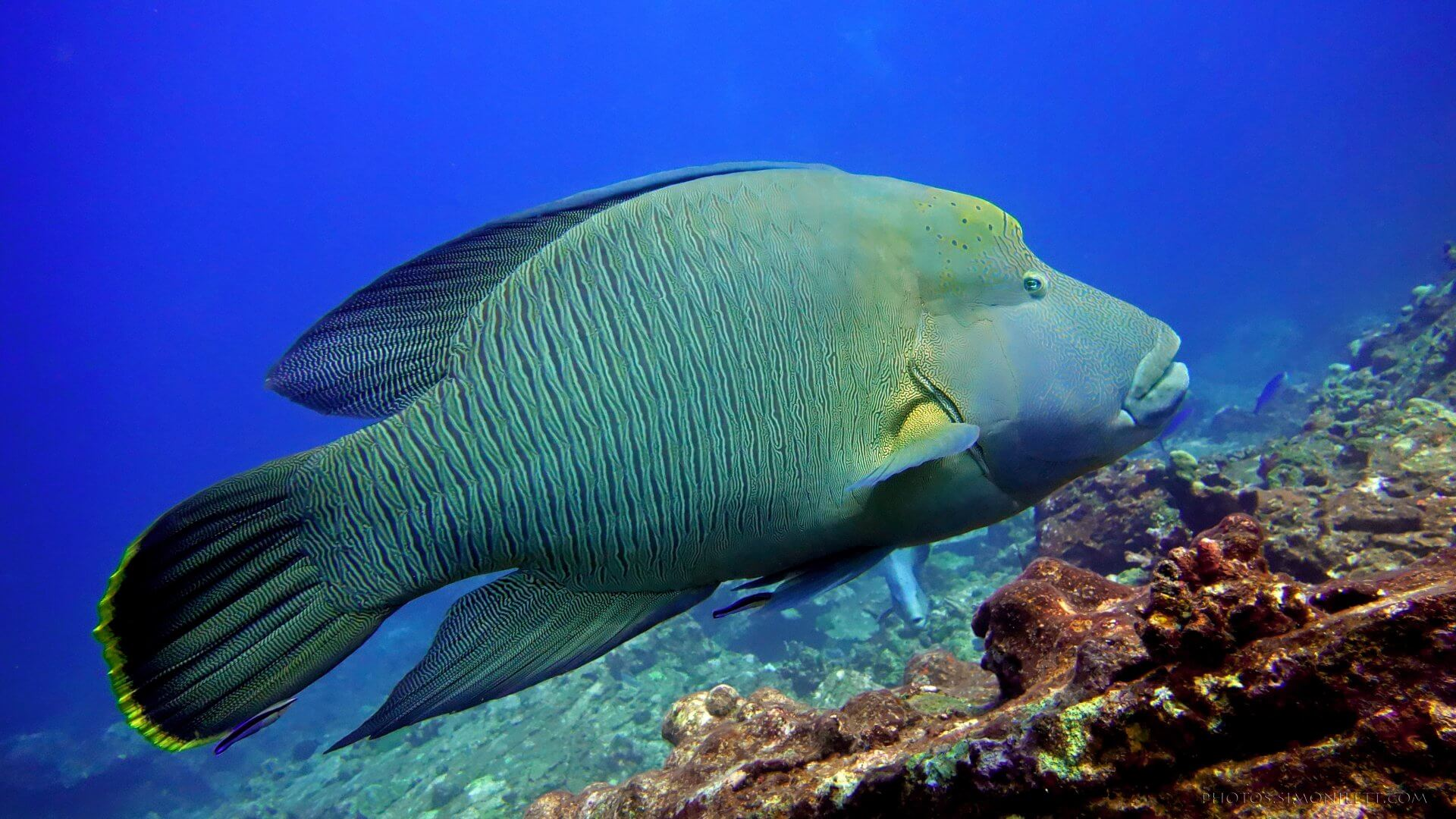 Humphead Wrasse, Also Known As Napoleon Wrasse