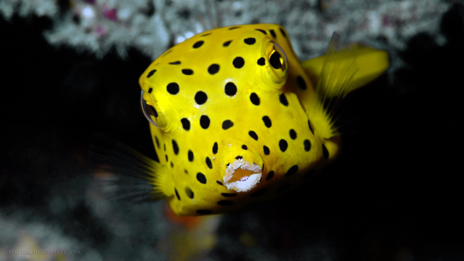The Juvenile Yellow Box Fish