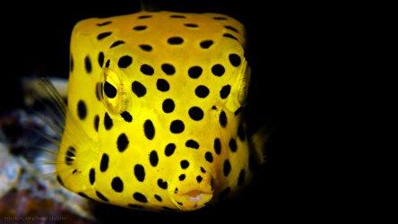 Juvenille Yellow Box Fish