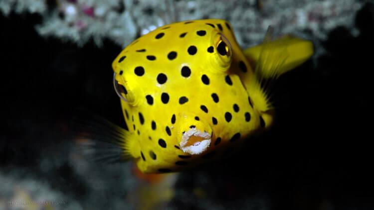 Juvenile Yellow Box Fish