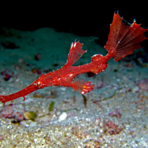 Juvenile Ghost or Delicate Pipe Fish