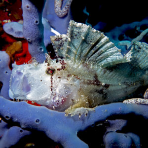 White Leafy Scorpion Fish