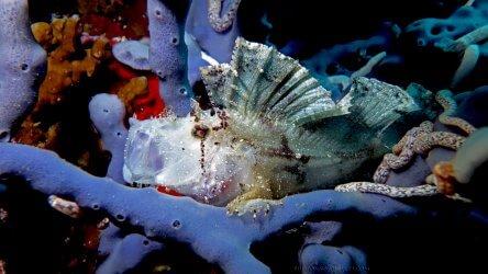 White Leafy Scorpion Fish