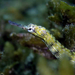 Reef Pipe Fish