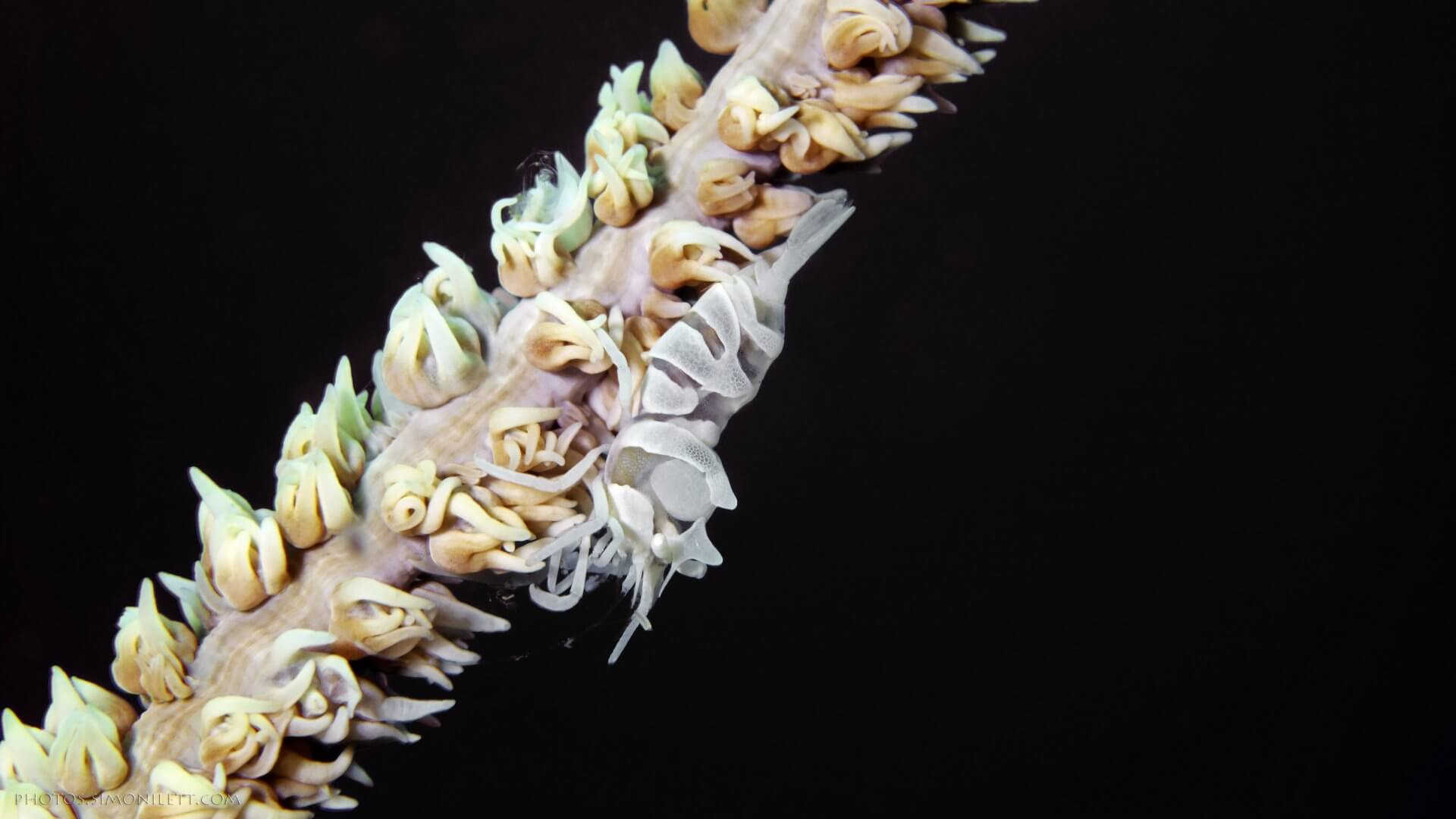 Whip Coral Shrimp In The Black Of Night