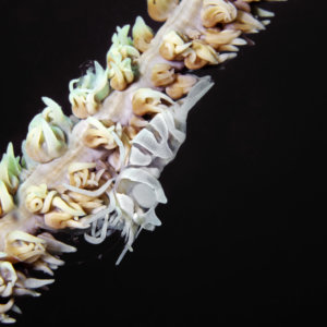Commensal Whip Coral Shrimp