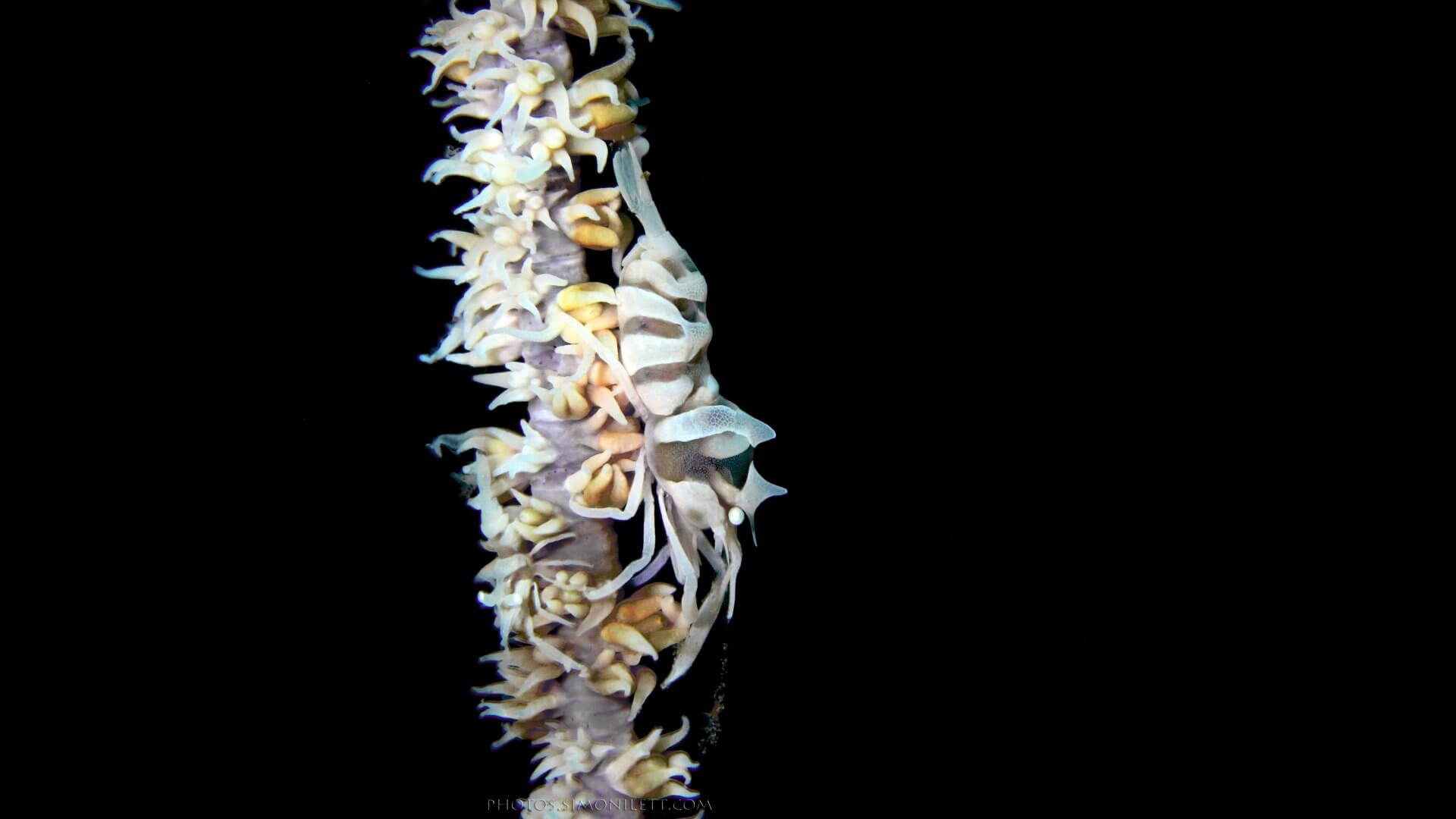 Commensal Whip Coral Shrimp Family