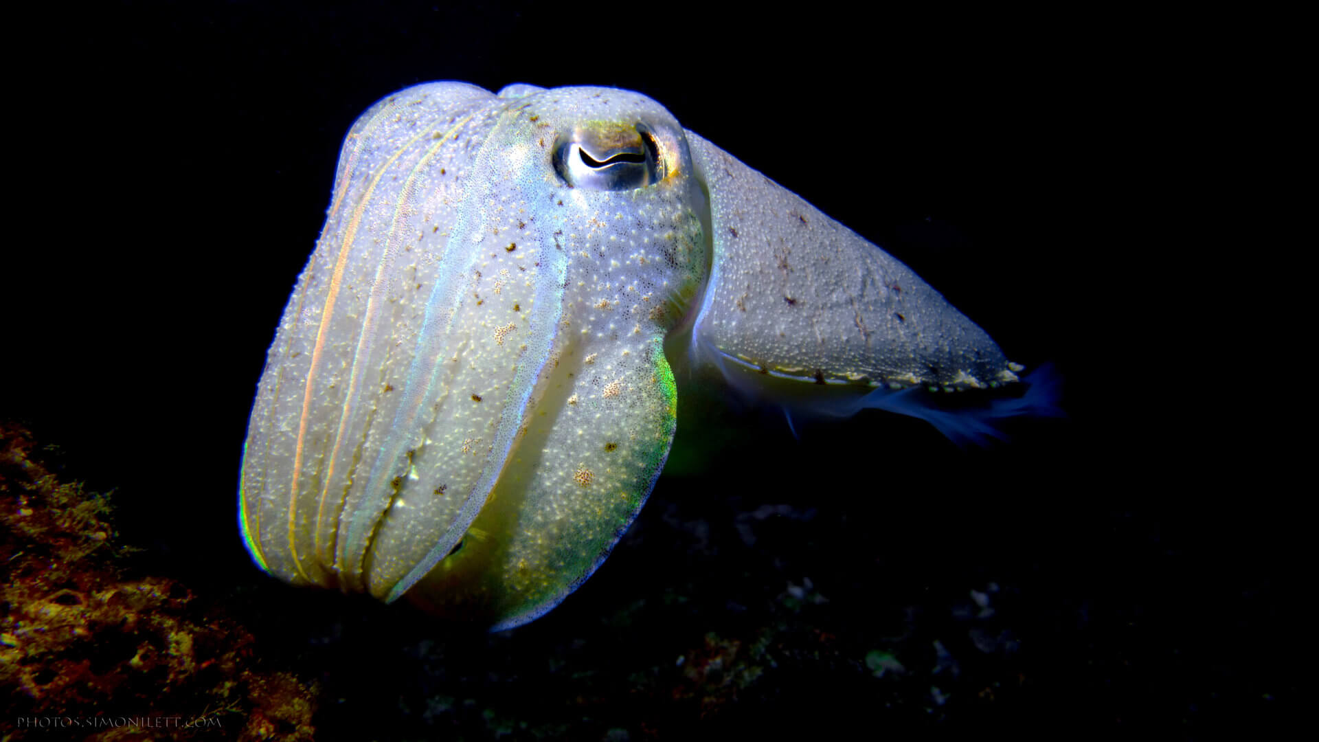 Ghostly White Cuttlefish