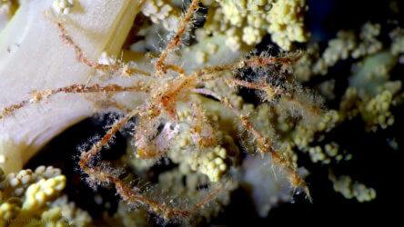 Juvenile Decorator Crab