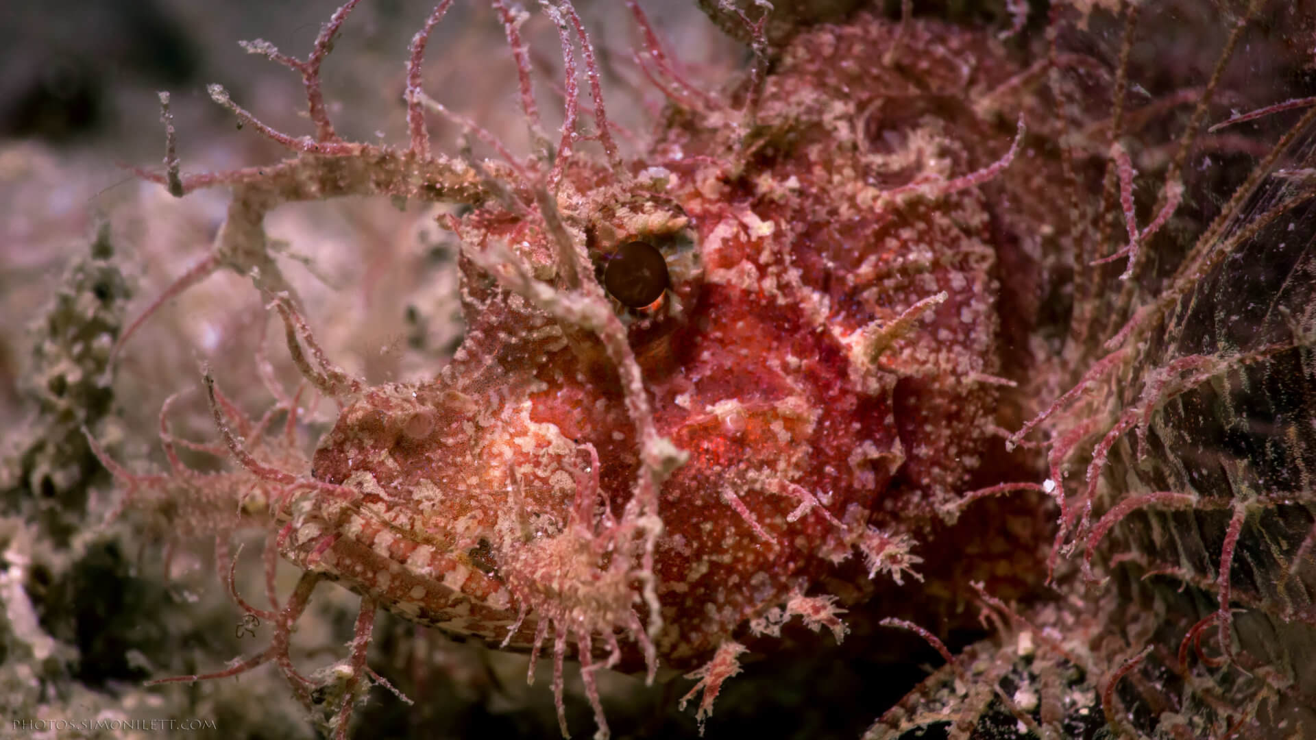 Ambon Scorpion Fish – An Unexpected Find In Phuket