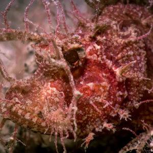 Ambon Scorpion Fish Kata Beach Diving