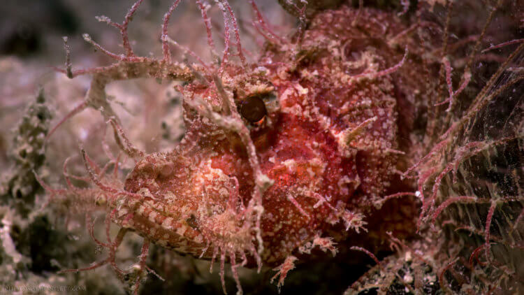 Ambon Scorpion Fish Kata Beach Diving