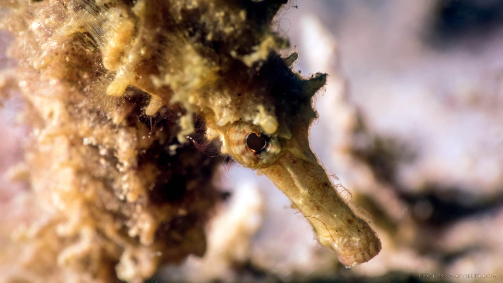 Hedgehog Seahorse – Kata Beach