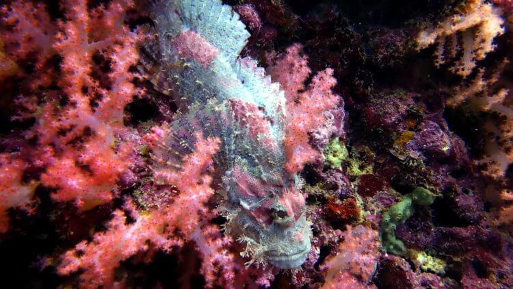 Common Bearded Scorpion Fish