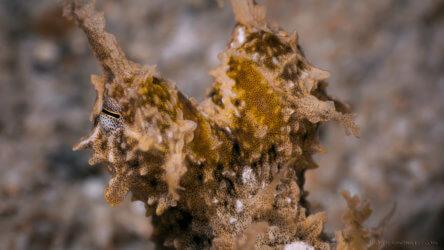 Algae Octopus