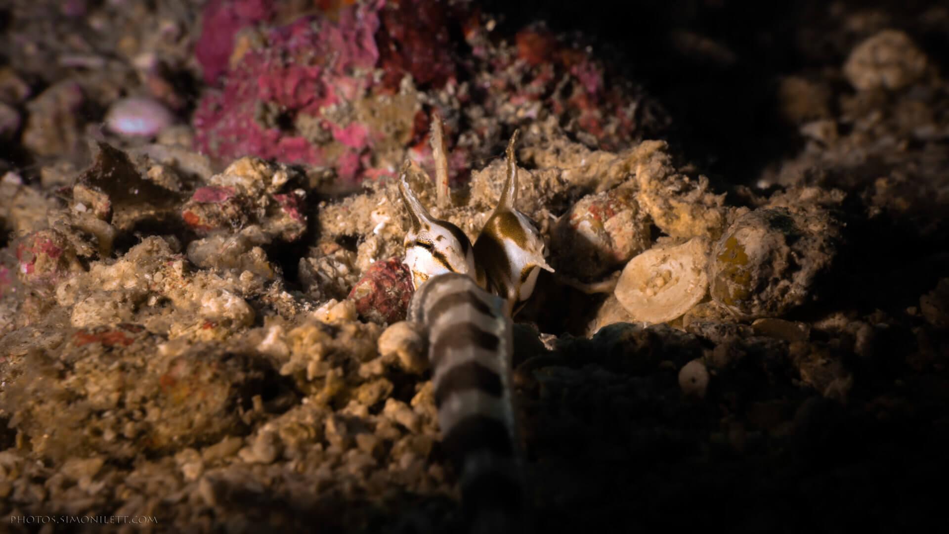 Mimic Octopus of Kata Beach Phuket