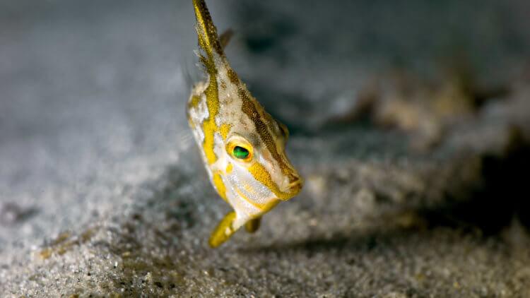 Tripodfish - Long Spined - Juvenile