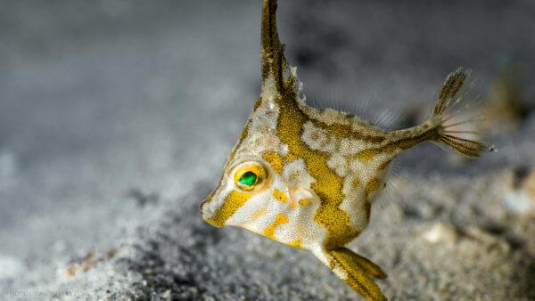 Tripodfish – Long Spined – Juvenile