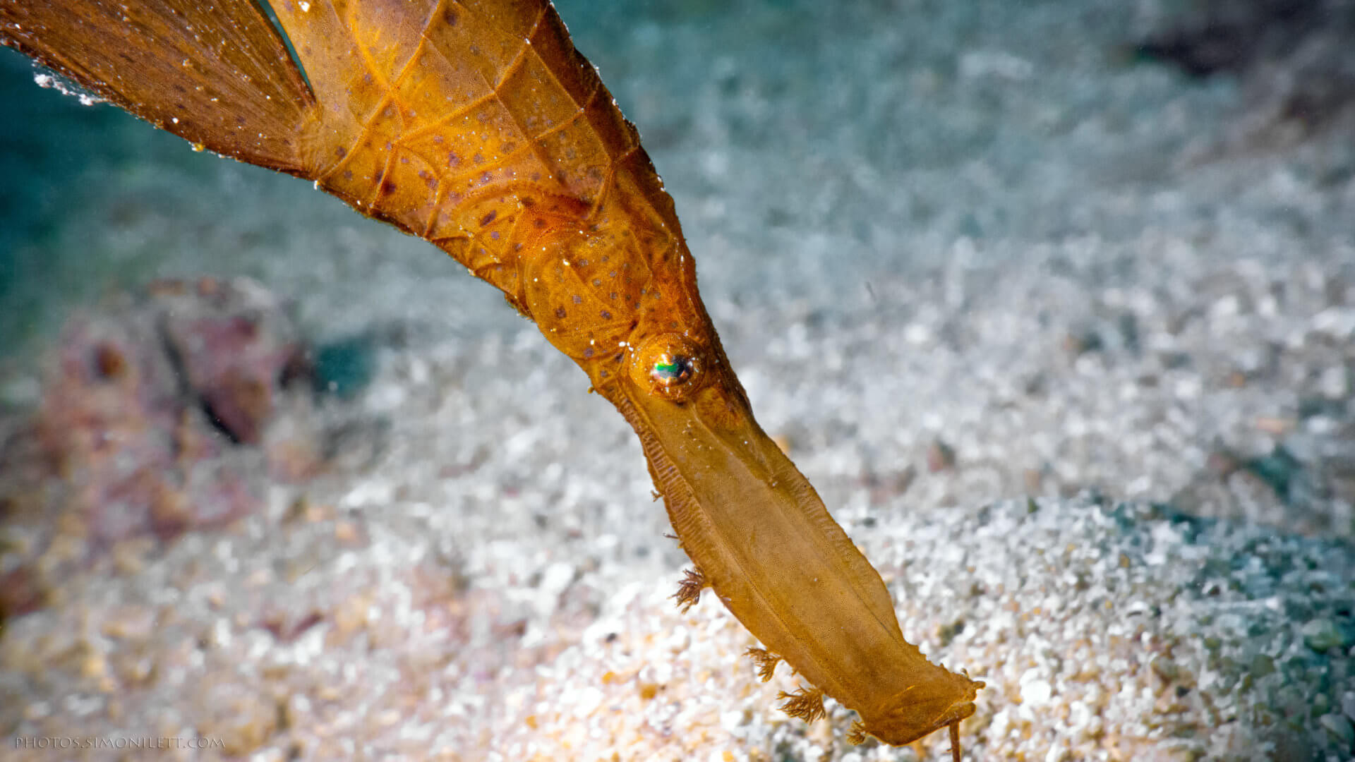 Robust Ghost Pipe Fish – Kata Beach